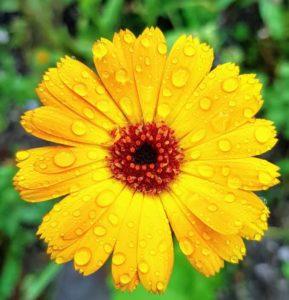 Kneippkur: Heilpflanzen für die Kneipptherapie